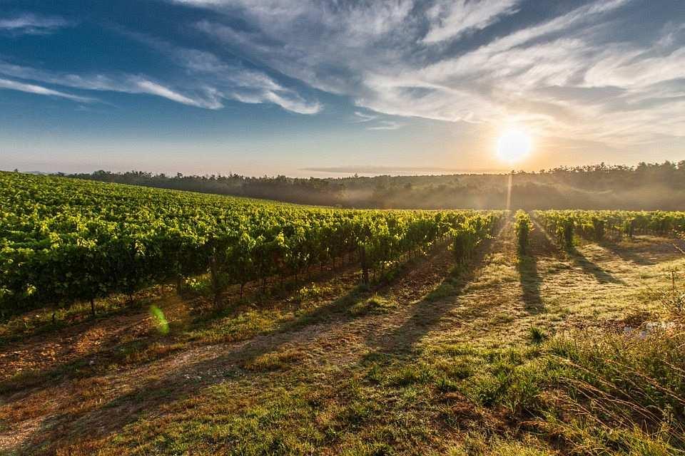 tuscany, üzüm bağı