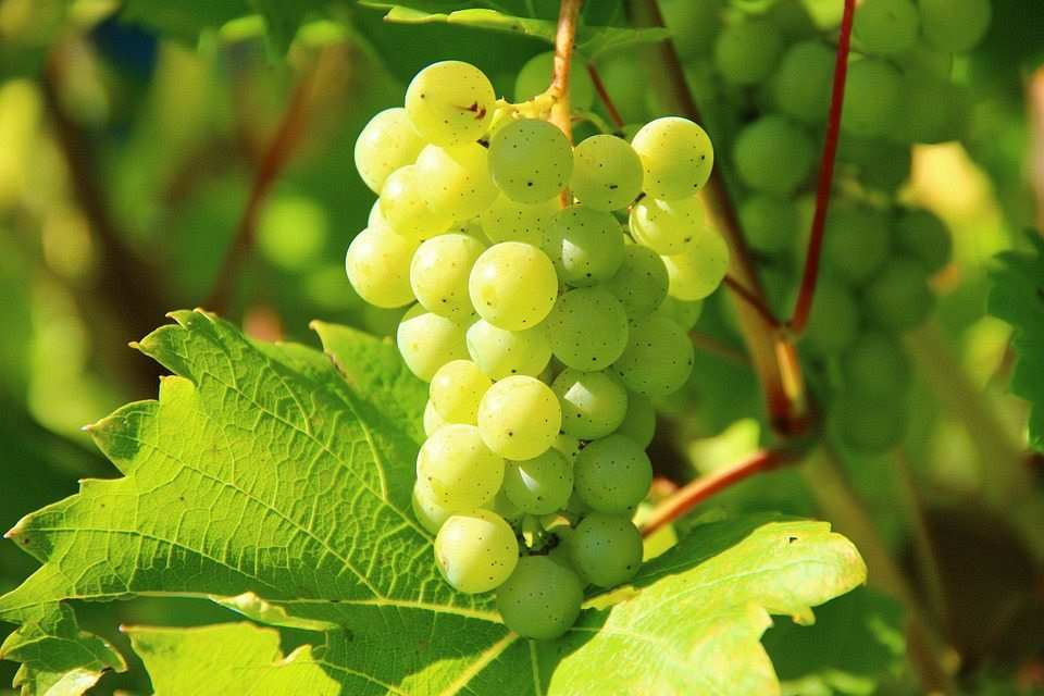 yeşil üzüm, üzüm bağı