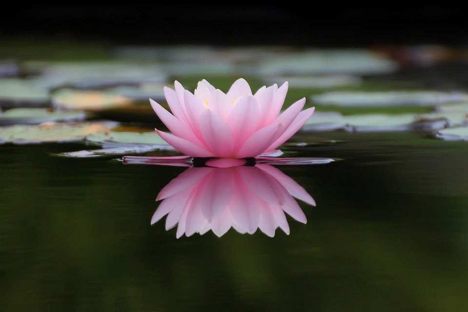 pembe lotus