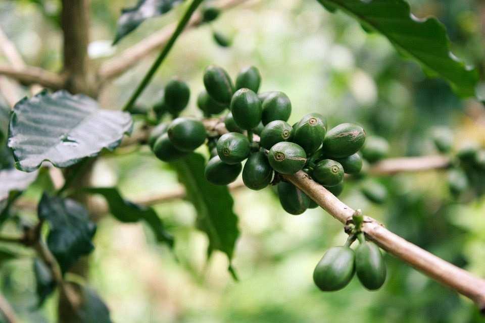 yeşil kahve meyvesi