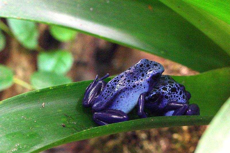 dünyanın en zehirli hayvanları ok kurbağası