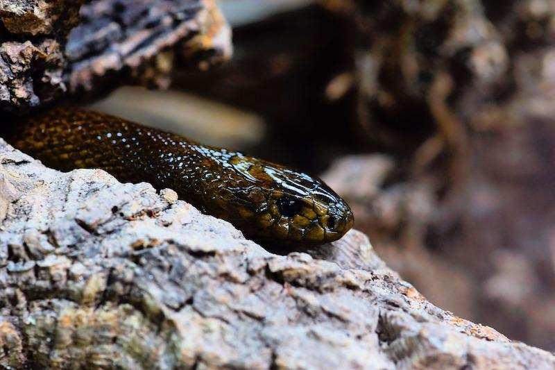 dünyanın en zehirli hayvanları taypan taipan yılanı