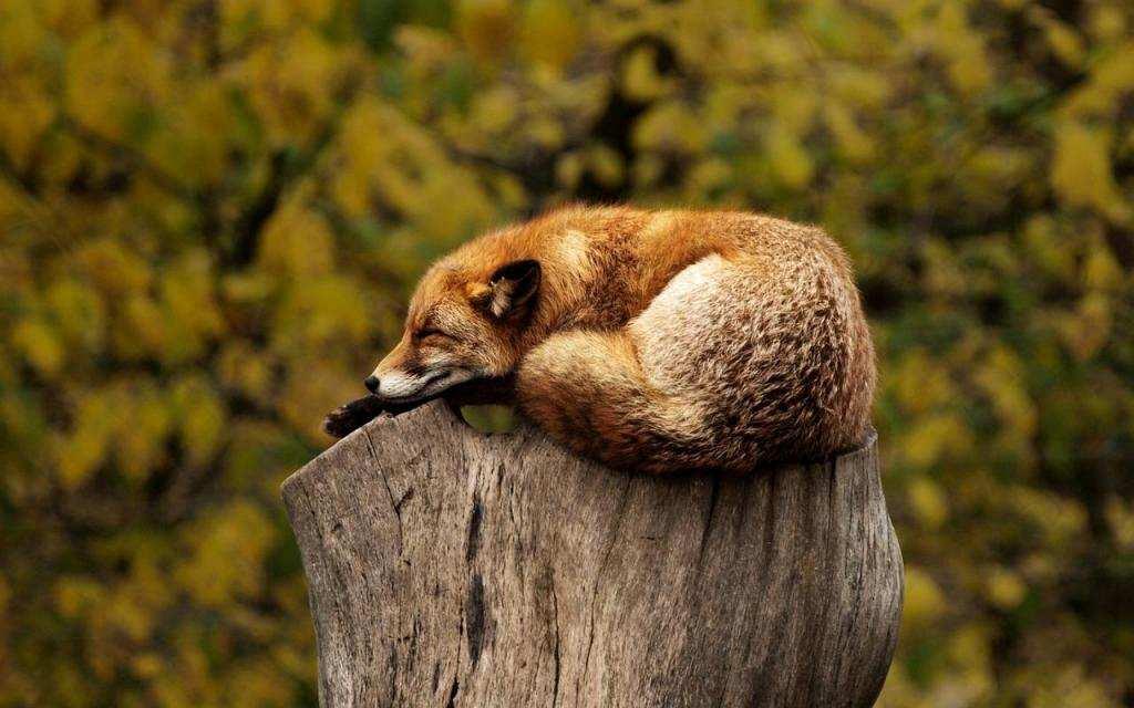 daha mutlu olmak için tilki uyku