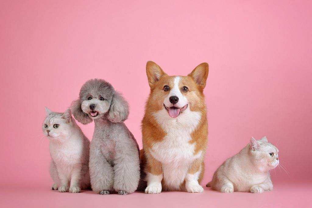 yapay seçilim kedi köpek