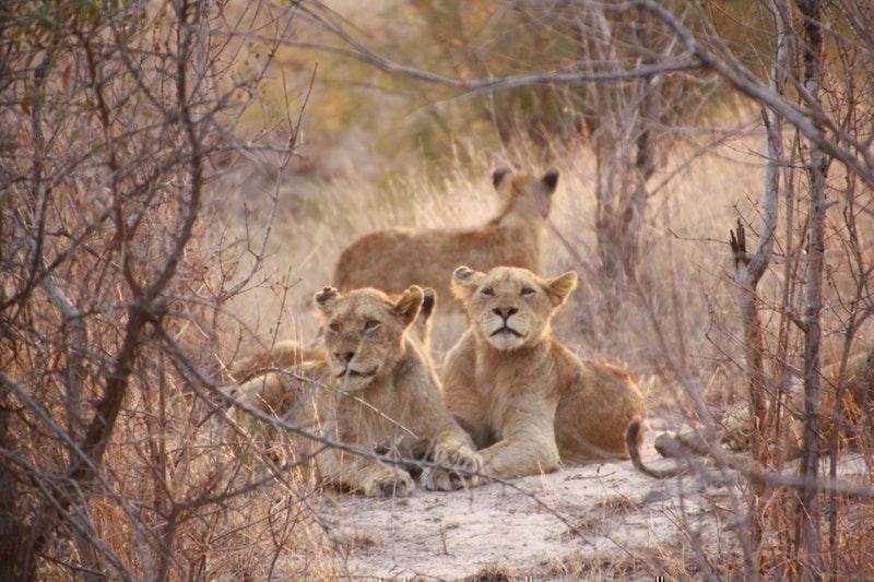 pride aslanlar