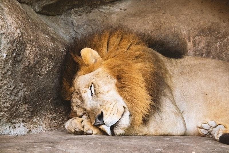kayada uyuyan erkek aslan