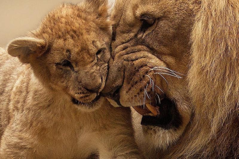 aslan ve yavru aslan