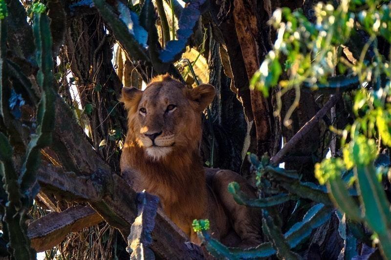 ağaçta dinlenen aslan
