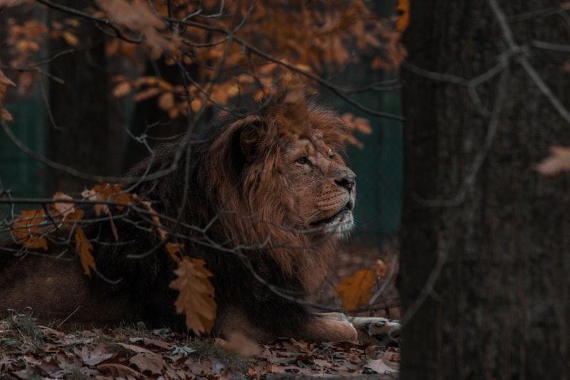 erkek aslan