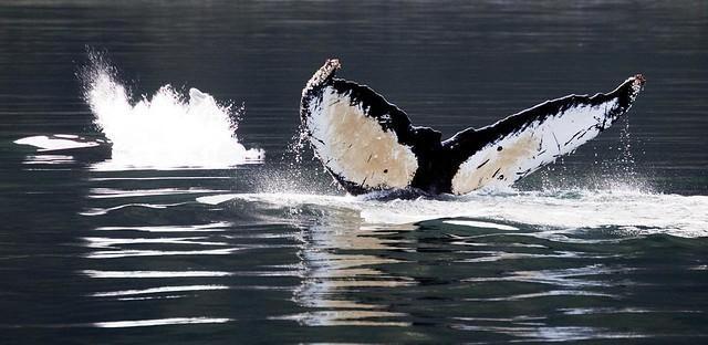 katil balina kuyruk
