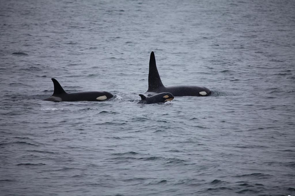 katil balina baklası