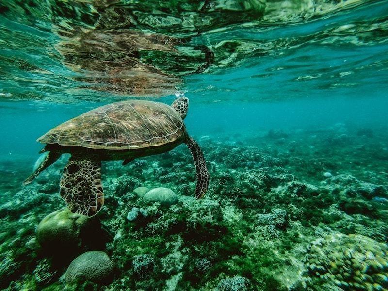 deniz kaplumbağası resif sualtı