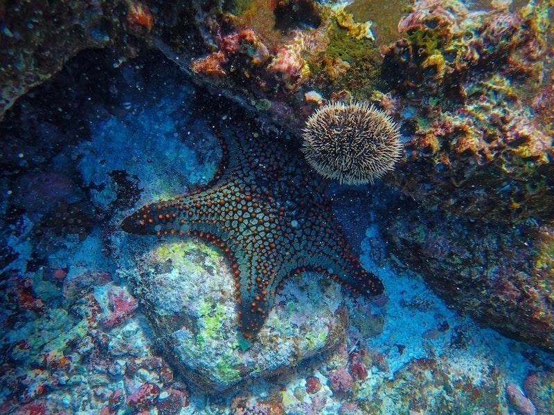 deniz yıldızı resif sualtı