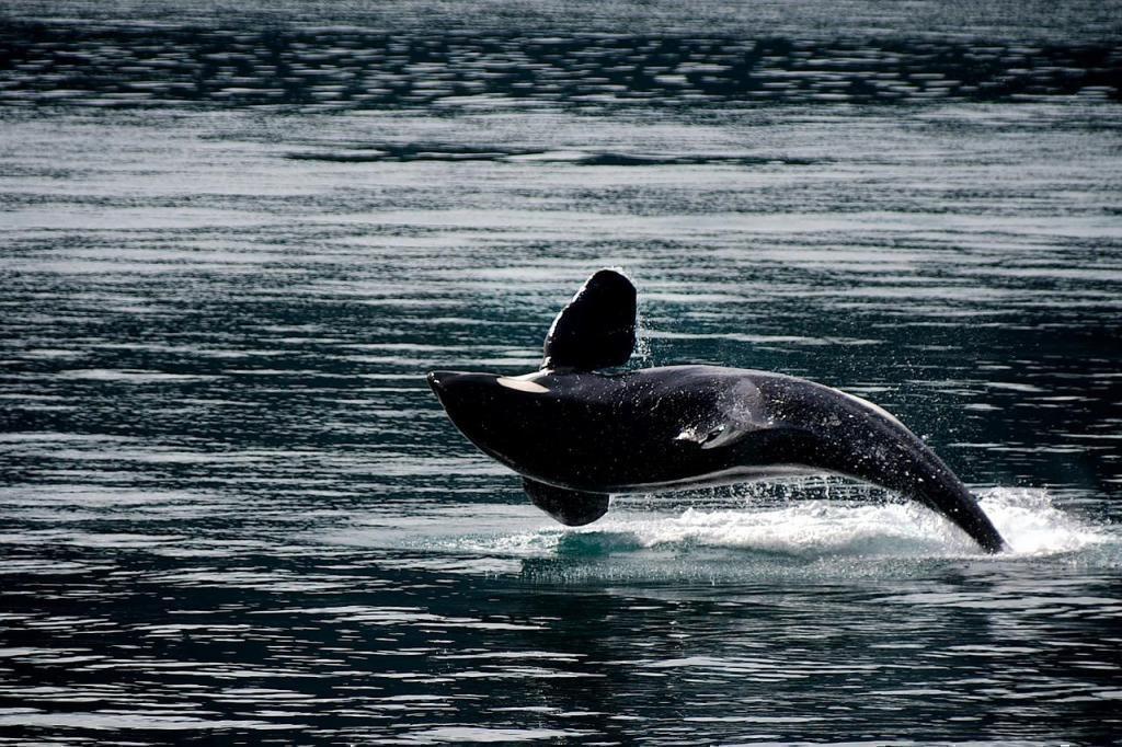 katil balina