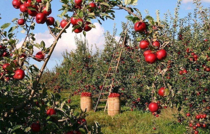 elma ağaçları