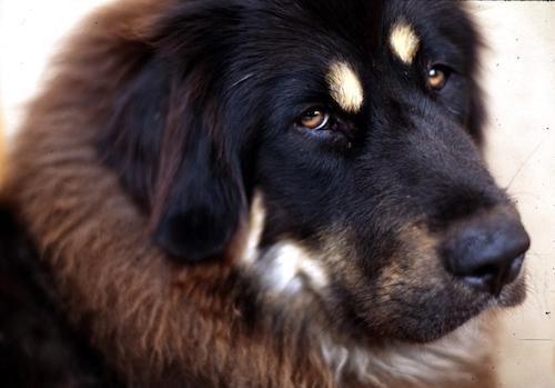tibet-mastifi