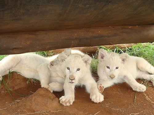 beyaz-aslan-yavrulari