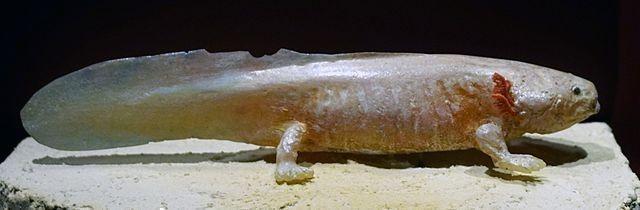 aksolotl axolotl