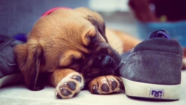 yavru köpek uyumak