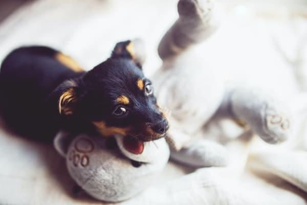 yavru köpek oyuncak