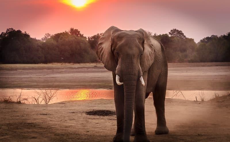 afrika kıtası fil