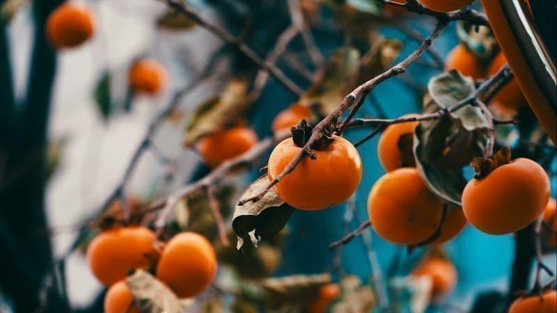 trabzon hurması kış yiyecekleri