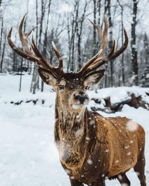 geyik kış