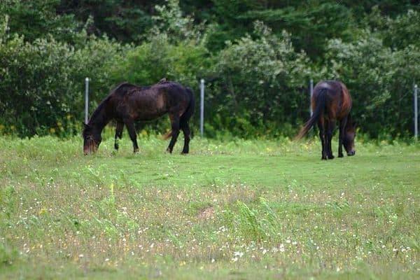 Sable_Island_Horses